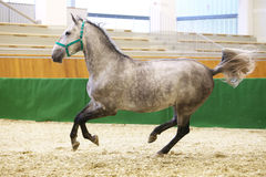 Young purebred lipizzan breed horse canter alone Royalty Free Stock Photos
