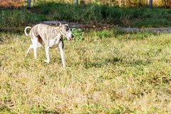 Whippet dog walking in park. Young purebred whippet dog walking in autumn park on playground for dogs Stock Photos