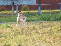 Whippet dog walking in park. Young purebred whippet dog walking in autumn park on playground for dogs Royalty Free Stock Photos