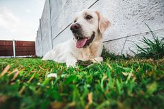 Young purebred white Golden Retriever laying on the grass with her tongue out. A young purebred white Golden Retriever laying on the grass with her tongue out royalty free stock photography