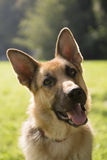 Young purebreed alsatian dog in park. Young german shepherd sitting on grass in park and looking with attention Royalty Free Stock Photos