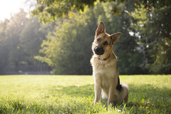 Young purebreed alsatian dog in park. Young german shepherd sitting on grass in park and looking with attention at camera, tilting head Stock Image