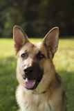 Young purebreed alsatian dog in park. Young german shepherd sitting on grass in park and looking with attention at camera. Copy space Royalty Free Stock Photo