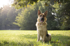 Young purebreed alsatian dog in park. Young german shepherd sitting on grass in park and looking with attention at camera Stock Image