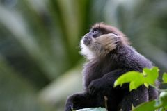 A Young Purple Faced Langur Trachypithecus vetulus in the Canopy of Sinharaja Forest Reserve of Sri Lanka stock photo