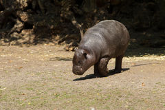 Young Pygmy hippopotamus Royalty Free Stock Photos