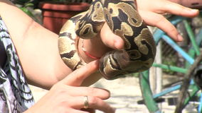 Young python on hand tamer. Mountain village Anton - Bulgarian center of rural tourism, national rural architecture and a popular tourist route stock footage