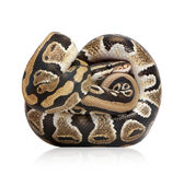 Young Python regius  (10 months old) Stock Images