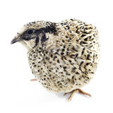 Young quail Royalty Free Stock Photo