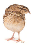 Young quail Royalty Free Stock Images