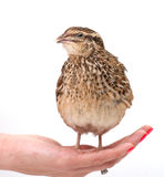 Young quail Stock Photo