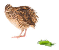 Young quail Stock Images