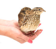 Young quail Royalty Free Stock Photography