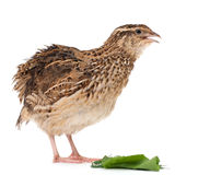 Young quail Stock Image
