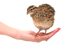 Young quail Royalty Free Stock Image