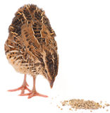 Young quail Stock Photography