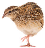 Young quail Stock Photos