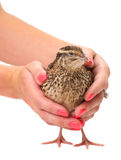 Young quail Royalty Free Stock Photos