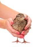 Young quail Royalty Free Stock Photos