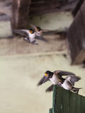 Young quarreling swallows Stock Images