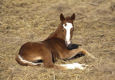Young quarter horse foal laying in straw. Sorrel quarter horse foal laying in straw and hay in the spring in North Dakota Stock Photos