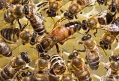 The young queen bee moves on honeycombs. Bees stimulate the young queen bee to lay eggs stock photography