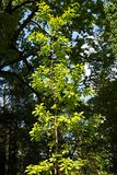 Quercus robur with green leaves. Young Quercus robur with green leaves Stock Image