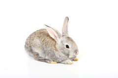 Young rabbit Royalty Free Stock Photos