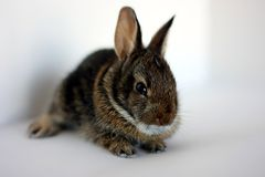 A young rabbit Royalty Free Stock Photo
