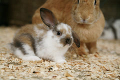 Young rabbit. Baby rabbit sitting in front of a flemish giant rabbit royalty free stock images