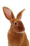 Young rabbit Royalty Free Stock Photography