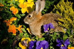 Young rabbit Royalty Free Stock Image