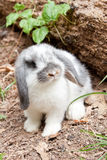 Young rabbit Royalty Free Stock Images