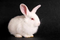 Young rabbit. Young white rabbit on dark background Stock Image