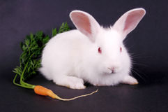 Young rabbit. Young white rabbit with carrot on dark background Stock Image