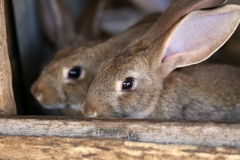 Young rabbit animal farm and breeding. Stock Photos