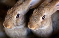 Young rabbit animal farm and breeding. Royalty Free Stock Photos