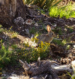 Young rabbit, backlit Royalty Free Stock Photos