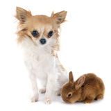 Young rabbit and chihuahua Royalty Free Stock Images