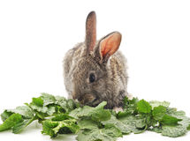 Young rabbit eat greens. Young rabbit greens on a white background Stock Photos