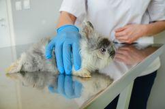 A young rabbit on the examination table held by a female veterinarian royalty free stock image