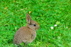 Young Rabbit Stock Photography