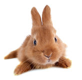 Young rabbit Stock Image