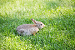 Young Rabbit in Fescue Grass Stock Photography