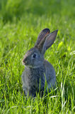 Young rabbit on field Royalty Free Stock Image