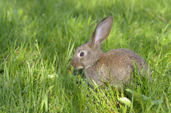 Young rabbit on field Royalty Free Stock Photo