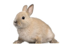 Young rabbit in front of white background Royalty Free Stock Photos