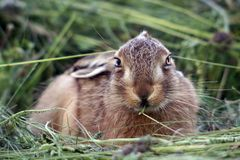 Young rabbit in the grass Stock Photography
