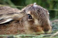 Young rabbit in the grass Royalty Free Stock Images