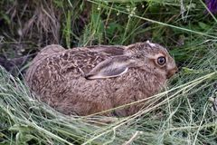 Young rabbit in the grass Royalty Free Stock Photography